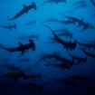 A school of hammerhead sharks at Cocos Island, from Deep See Submersible
