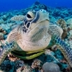 Close up of a turtle in the Koro Sea