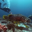 A giant grouper in the Northern Atolls