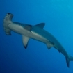A scalloped hammerhead in the Red Sea