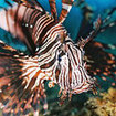 Lionfish in the Gulf of Thailand