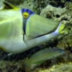 A Picasso triggerfish, Hurghada, Egypt