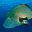 A Napoleon wrasse at the Brothers, Red Sea