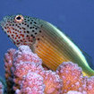 A freckled hawkfish rests on finger coral at Temple of Doom