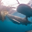 Whale sharks surround a fishing boat in West Papua