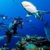 Dive with grey reef sharks at Holmes Reef, Australia