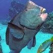 Bumphead parrotfish at a cleaning station, Coral Sea, Australia