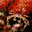 Soft coral crab - Komodo, Indonesia