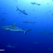 Grey reef sharks at Blue Corner