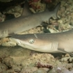 Whietip reef sharks at Embudhoo Kandu