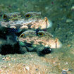 Twinspot Gobies - Crocodile Avenue