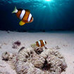Clownfish are present here too