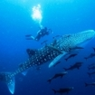 Scuba diving with whale sharks at Galapagos, Ecuador
