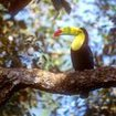 A toucan of Belize