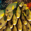 Ribbon sweetlips (Plectorhinchus) - Raja Ampat, eastern Indonesia