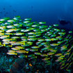 Swim with schools of snapper at Raja Ampat