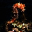 Thorny seahorse in the bay