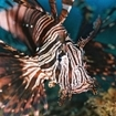 Close-up of a common lionfish in Flores