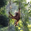 Malaysian Borneo rainforest orang utan hanging on tree