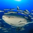 Whale sharks can be seen by lucky daytrip divers from Koh Samui