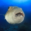 A giant pufferfish at Garang Heng