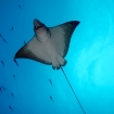 Eagle rays frequent the Mindoro Strait