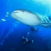 Divers watch a whale shark at Chumphon Pinnacle