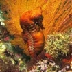 Pacific seahorse (Hippocampus ingens) at Cousin's Rock, Galapagos