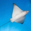 An eagle ray soars overhead in the Maldives