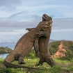 Komodo dragons can be aggressive creatures