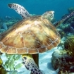 Diving with turtles in Ambergris Caye, Belize