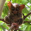A tarsier at Tangkoko National Park, near Lembeh, North Sulawesi