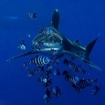 Diving in the Red Sea with oceanic white tip sharks