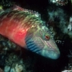 A colourful wrasse at Seven Sisters
