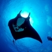 A diver and manta at the Socorro Islands