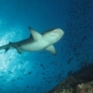 A tiger shark at Socorro, Mexico