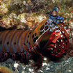 A peacock mantis shrimp, Australia's Great Barrier Reef