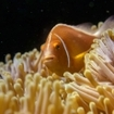 An anemonefish in a maginficent anemone, Fiji