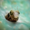 Close up of a cute blenny