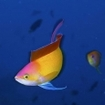 Golden anthias at 7-Up