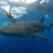 Whale sharks are sometimes encountered at Moalboal too