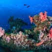 Soft corals in the Southern Atolls of the Maldives
