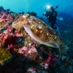 Scuba diver and cuttlefish in the Thai seas