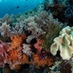 Colourful soft corals grow on a healthy reef
