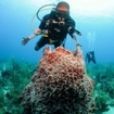 A diver examines a barrel sponge in Ambergris Caye, Belize