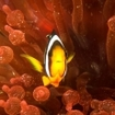 Bulb-tentacle anemone with anemonefish