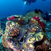 A diver examines a giant clam at Jef Fam