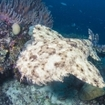 Wobbegong shark in Raja Ampat, Indonesia