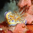 A nudibranch at Haa Dhaalu Atoll, Maldives