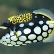 Clown triggerfish can be found in the northern Andaman Sea of Thailand
